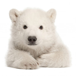Nástenná samolepka Dekornik Polar Bear